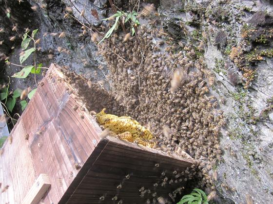 ハイブリッド郡の採蜜 10,10,2 005