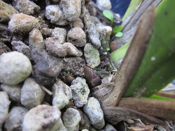 キンとミスマの花芽 10,10,16 005