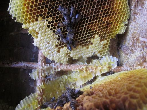 蜜蜂死亡原因 11,1,29 006