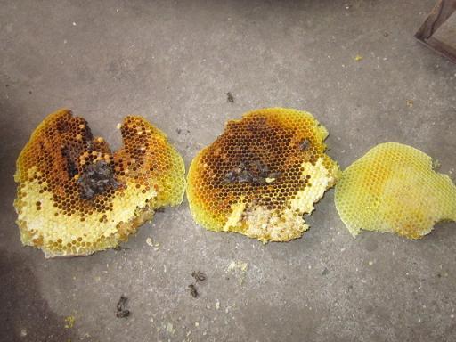 蜜蜂死亡原因 11,1,29 011