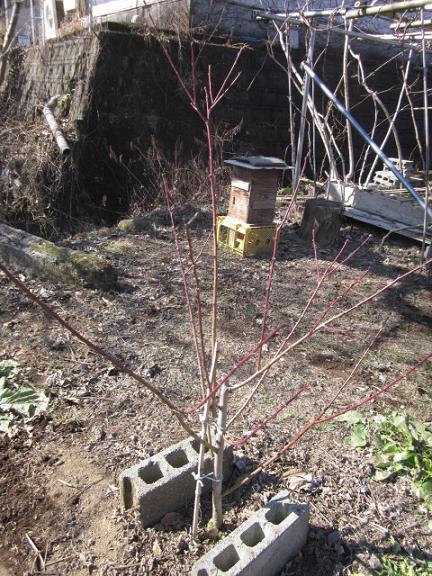 果樹剪定 11,2,1 003