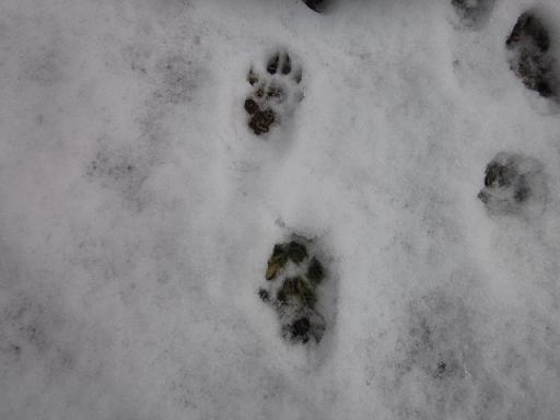 狸の足跡 11,2,11 001