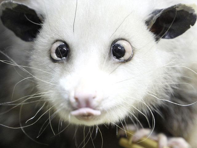 opossum-heidi.jpg