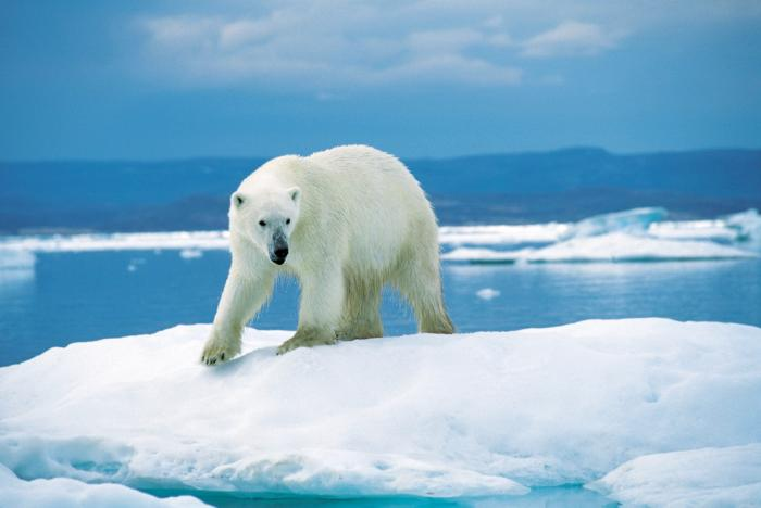 polar_bear20.jpg