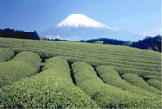 Green tea field at the bottom of the Mt.Fuji