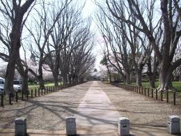 桜の公園1