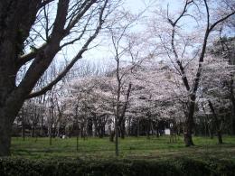 桜の公園2