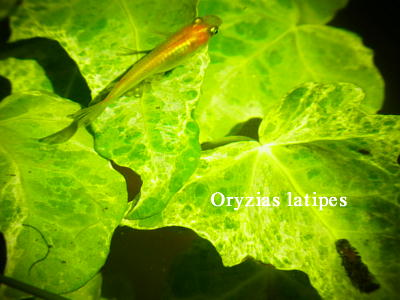 Oryzias latipes