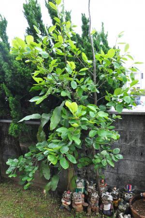柿の木(B)