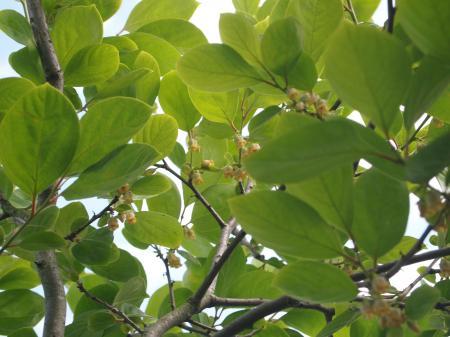 柿の木(A)