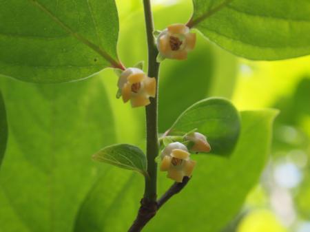 柿の花(A)