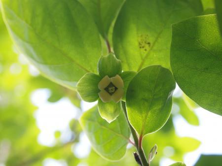 柿の花(B)