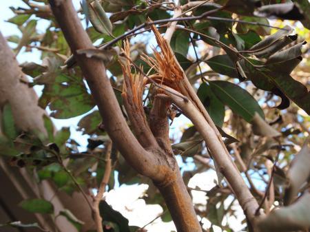 レイシーの枝
