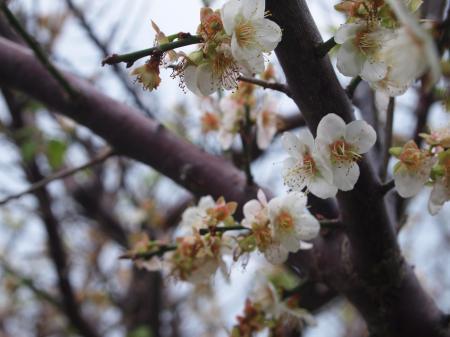 梅の木(A)