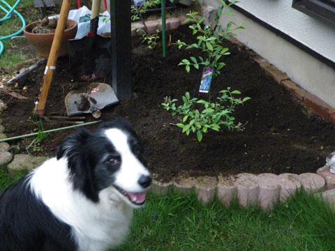 ブルーベリー植えました