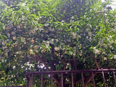 沢山の柚子の花