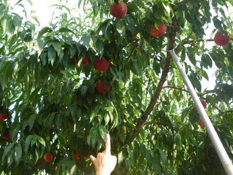 美味しそうな桃がいっぱい