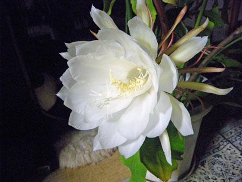 月下美人の花