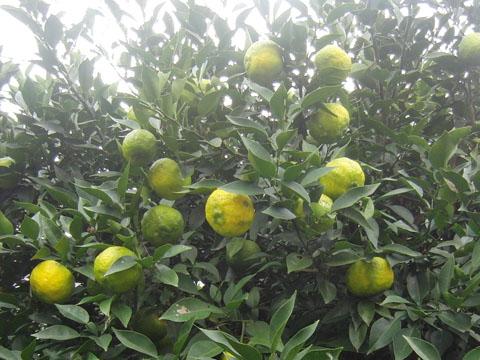 小ぶりの柚子