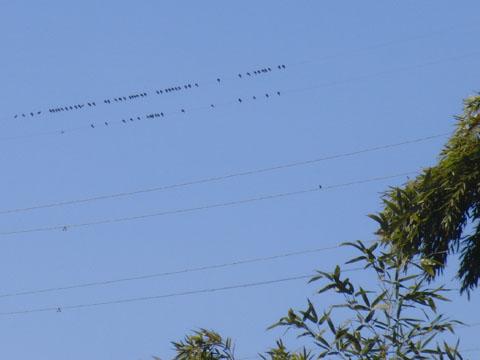 電線にもたくさんの鳥
