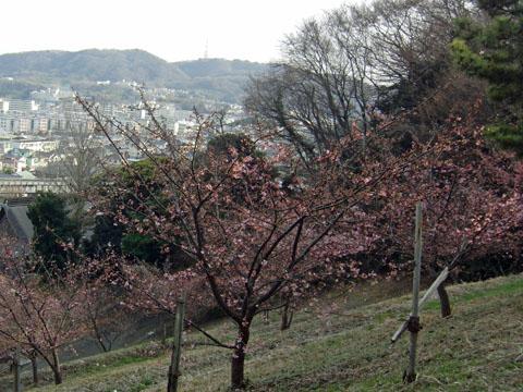 河津桜4~5分咲き