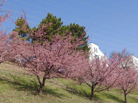 河津桜も満開