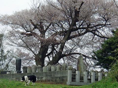 大きな桜が