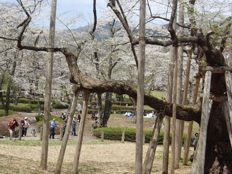 大きな淡墨桜
