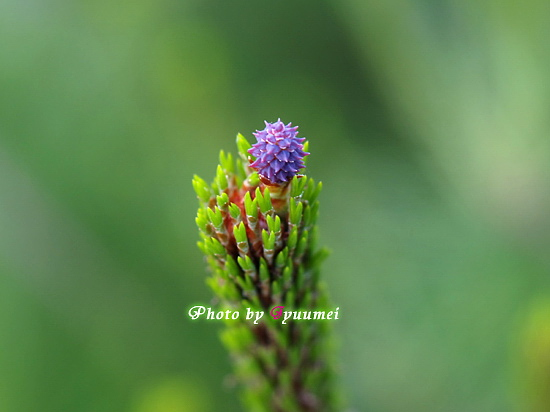 松の花の咲くころ