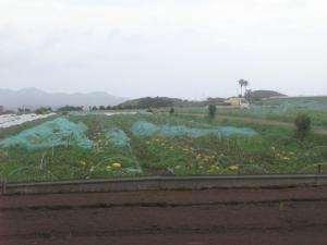 黄色いメロン畑