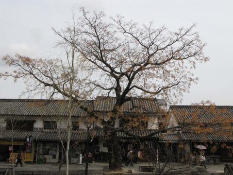 大きなセンダンの木