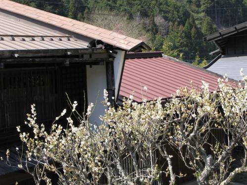 梅と屋根の上の猫