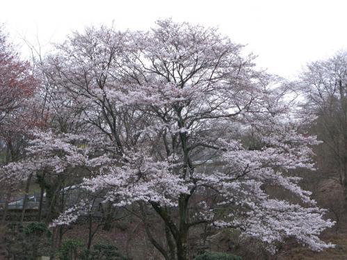 秋川霊園の桜