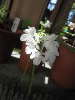 ウチョウラン純白花