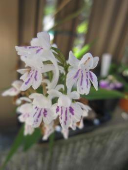 ウチョウラン紫長舌花