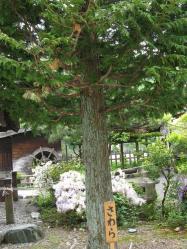 木曽の五木 サワラ