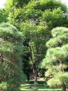 福島県ケヤキ