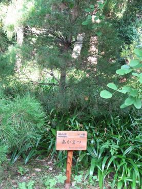 岡山県アカマツ