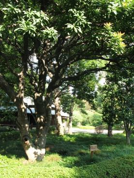 徳島県ヤマモモ