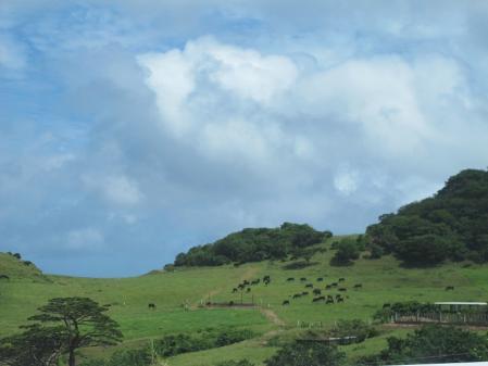 石垣島の牛
