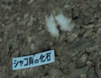 シャコガイの化石