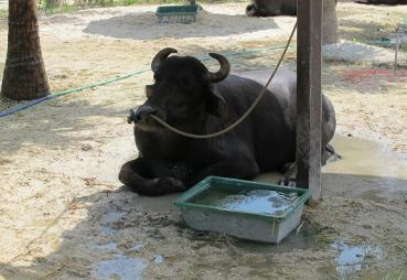 ヨーロッパ系水牛