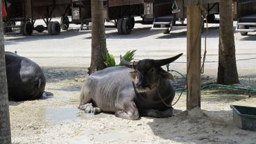 アジア系水牛