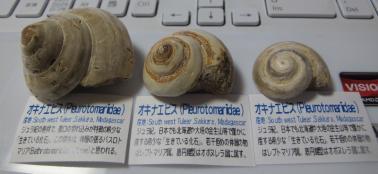 オキナエビス化石3種