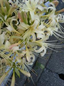 白花の彼岸花