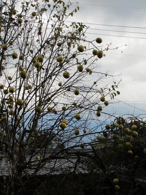 馬籠宿 花梨