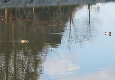大阪城公園 鴨たん