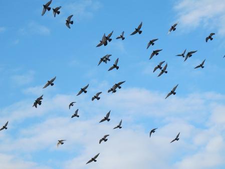 大阪城公園 鳩