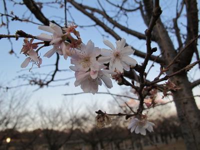 大阪城 十月桜