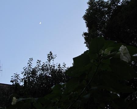 ダチュラと月